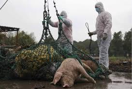اليابان تعدم 546 خنزيرا بعد أول إصابة بحمى الخنازير منذ 26 عاما