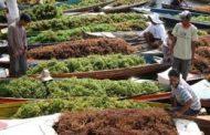 مزارعو أعشاب بحرية إندونيسيون يسعون للحصول على تعويض قدره 140 مليون دولار في استراليا