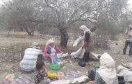 سوريا.. موسم واعد لإنتاج الزيتون وبرنامج زمني لتطوير زراعته